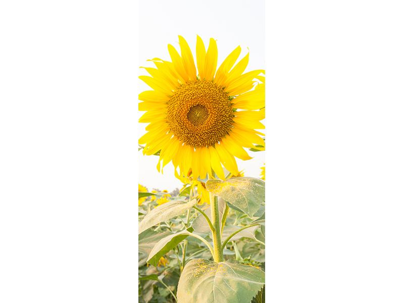Türtapete Das Sonnenblumenfeld