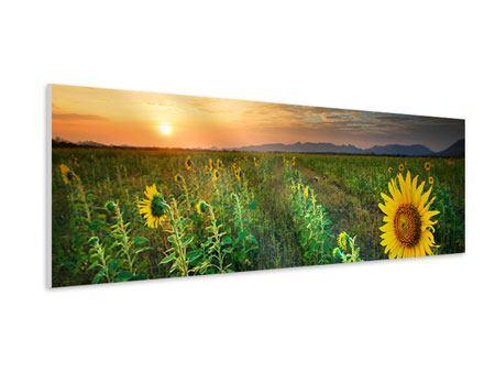 Hartschaumbild Panorama Sonnenblumenfeld im Abendrot