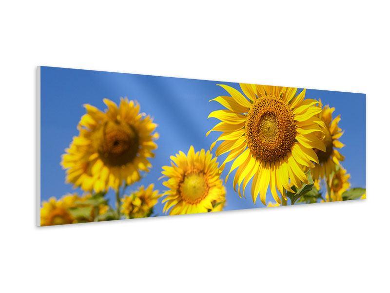Hartschaumbild Panorama Himmlische Sonnenblumen