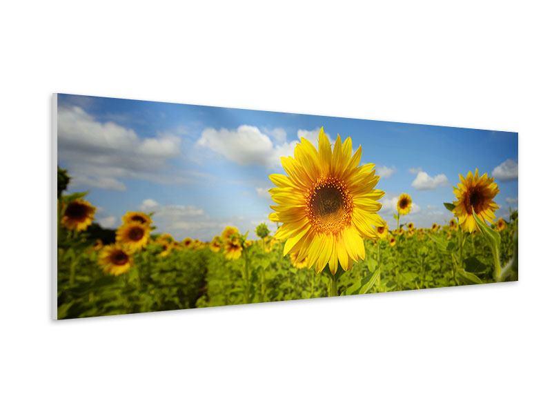 Hartschaumbild Panorama Sommer-Sonnenblumen