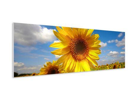 Hartschaumbild Panorama Das Feld der Sonnenblumen