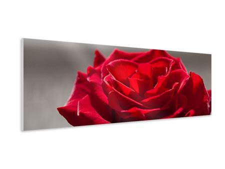 Hartschaumbild Panorama Rote Rosenblüte