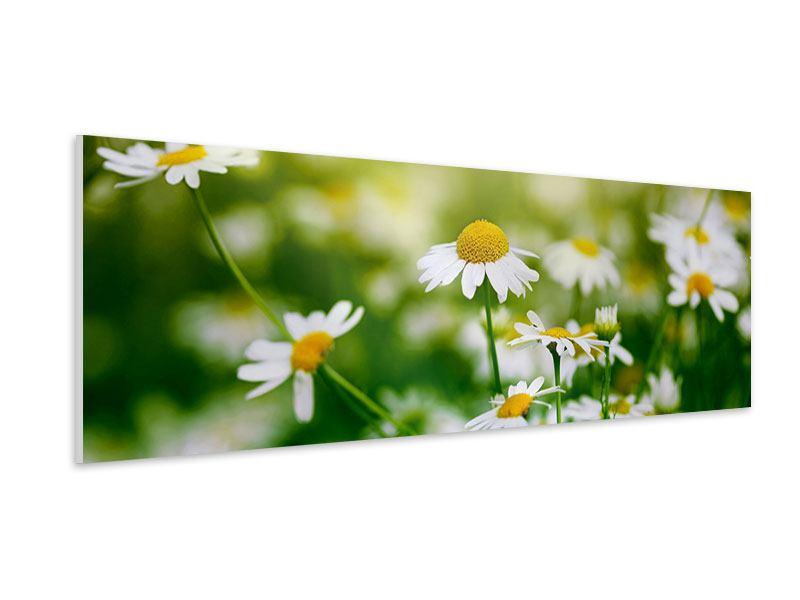 Hartschaumbild Panorama Die Gänseblümchen