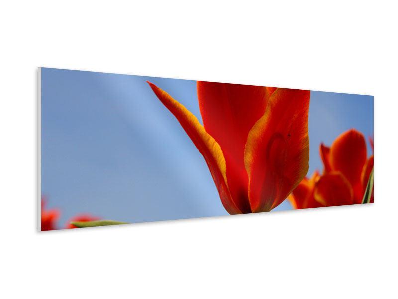 Hartschaumbild Panorama Rote Tulpen in XXL
