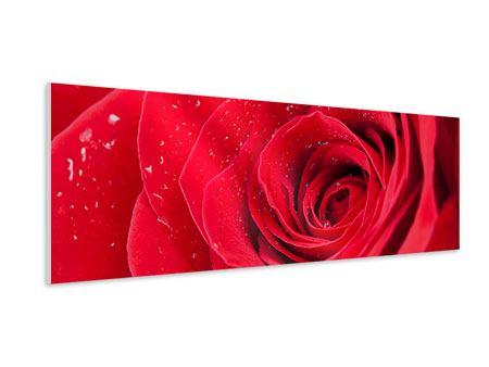 Hartschaumbild Panorama Rote Rose im Morgentau