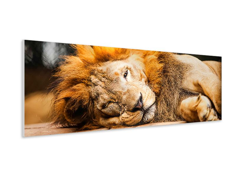 Hartschaumbild Panorama Entspannter Löwe