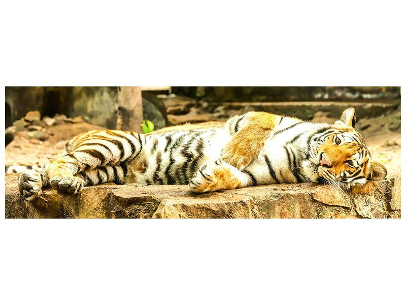 Hartschaumbild Panorama Der Sibirische Tiger