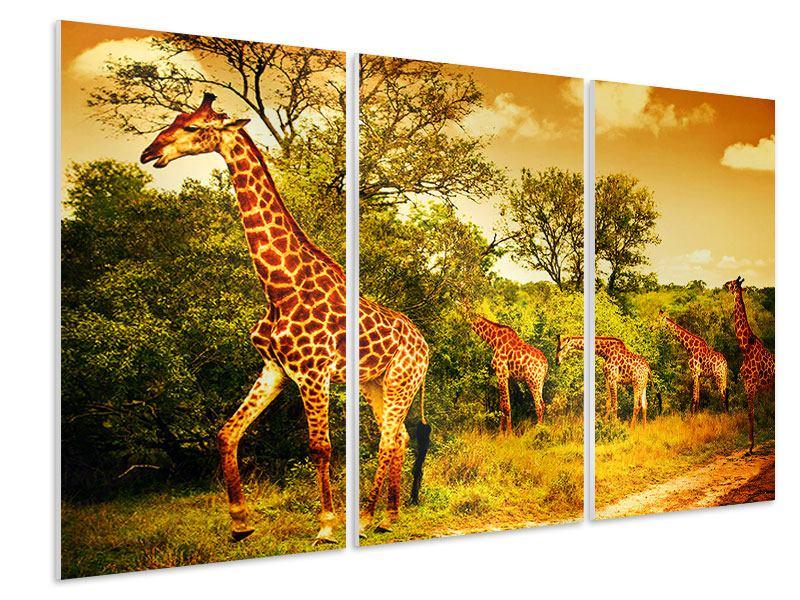 Hartschaumbild 3-teilig Südafrikanische Giraffen