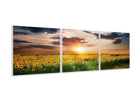 Panorama Hartschaumbild 3-teilig Ein Feld von Sonnenblumen