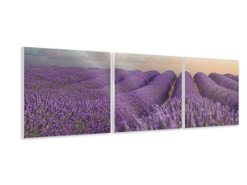 Panorama Hartschaumbild 3-teilig Das blühende Lavendelfeld