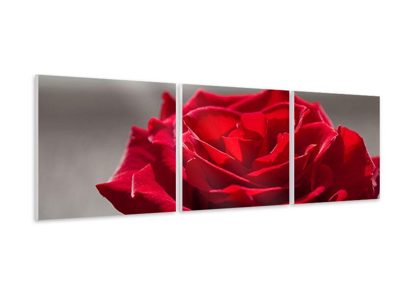 Panorama Hartschaumbild 3-teilig Rote Rosenblüte
