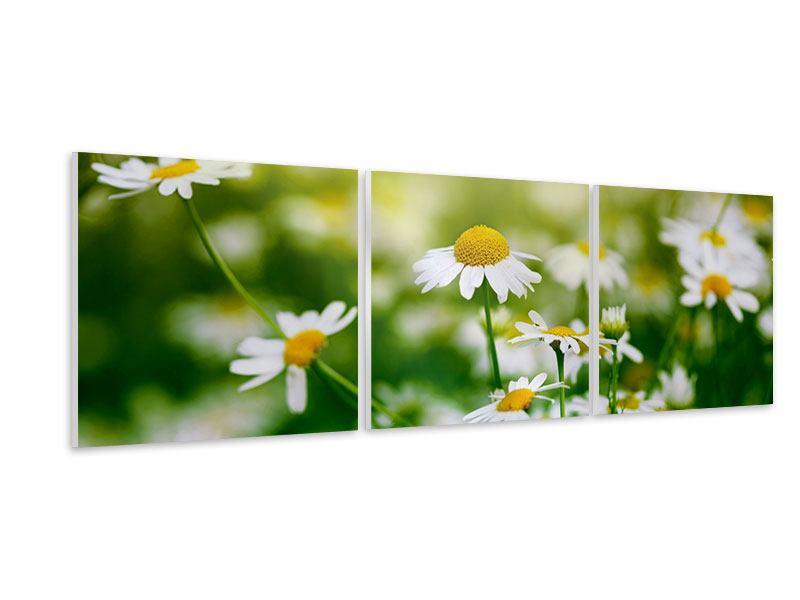 Panorama Hartschaumbild 3-teilig Die Gänseblümchen