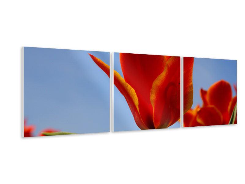 Panorama Hartschaumbild 3-teilig Rote Tulpen in XXL