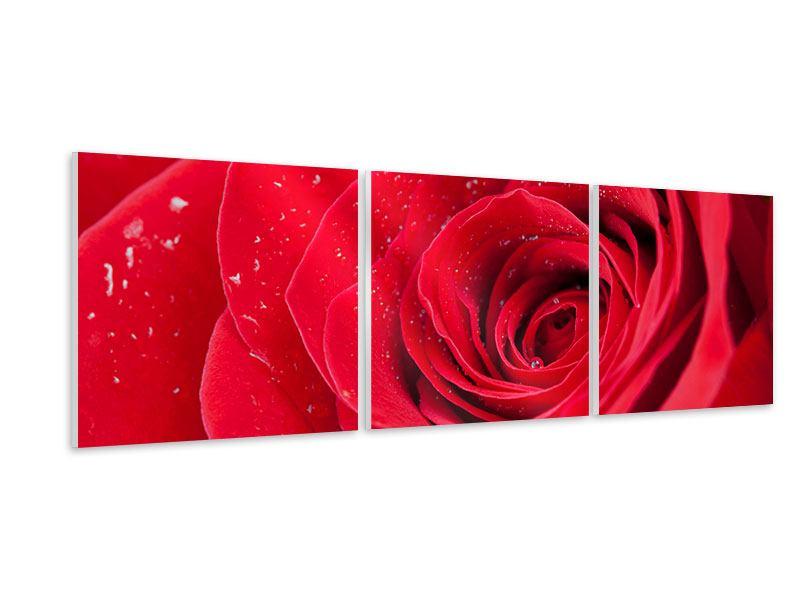 Panorama Hartschaumbild 3-teilig Rote Rose im Morgentau