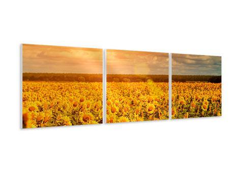 Panorama Hartschaumbild 3-teilig Goldenes Licht für Sonnenblumen