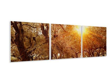 Panorama Hartschaumbild 3-teilig Olivenbäume im Herbstlicht