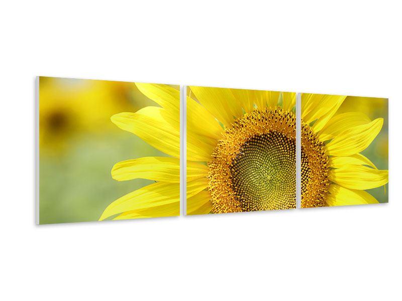Panorama Hartschaumbild 3-teilig Die Blume der Sonne
