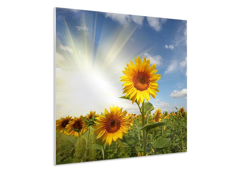 Hartschaumbild Sonnenblumen im Sonnenlicht