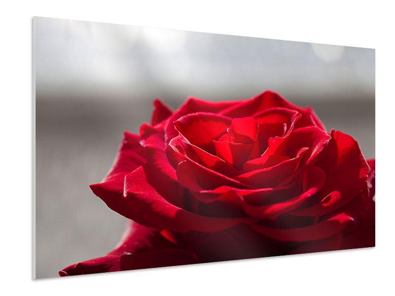 Hartschaumbild Rote Rosenblüte