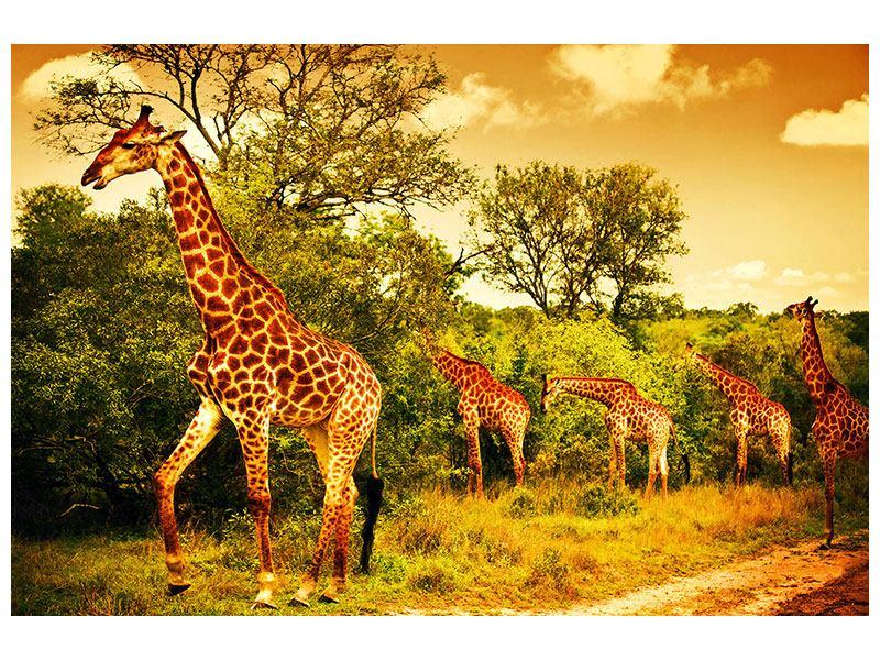 Hartschaumbild Südafrikanische Giraffen