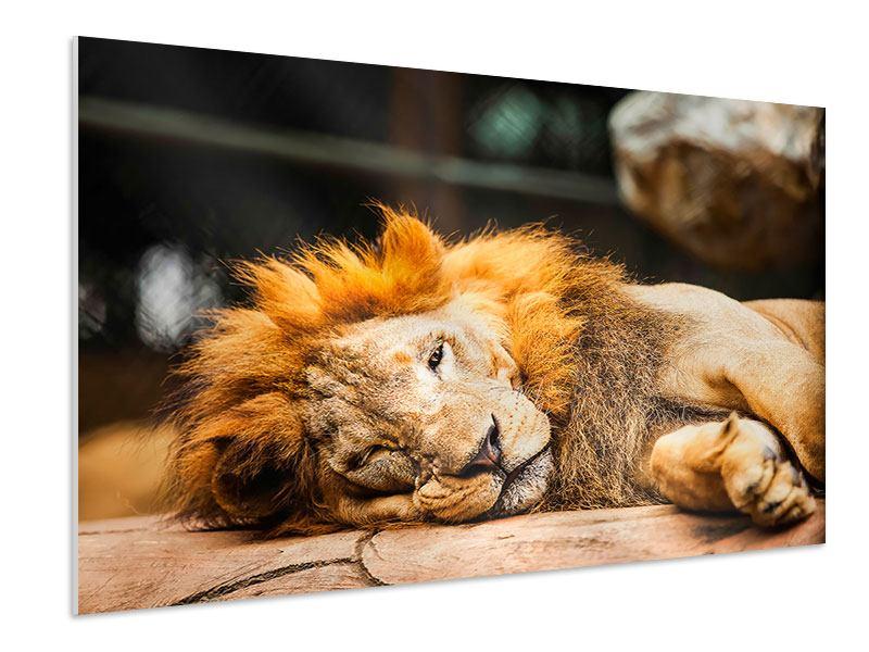 Hartschaumbild Entspannter Löwe
