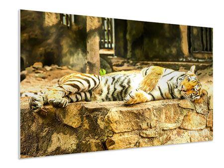 Hartschaumbild Der Sibirische Tiger