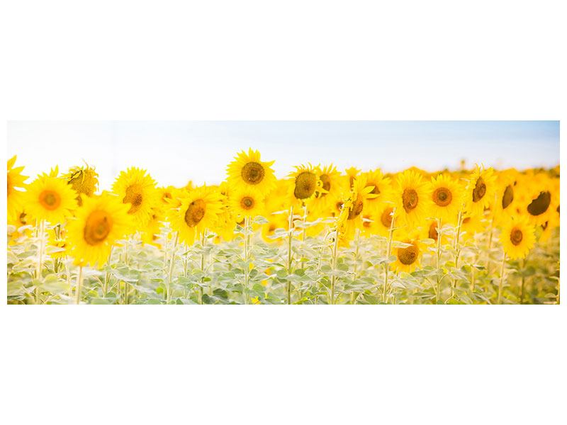 Klebeposter Panorama Im Sonnenblumenfeld