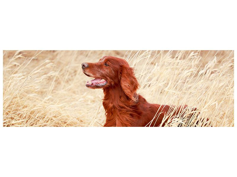 Klebeposter Panorama Irish Red Setter