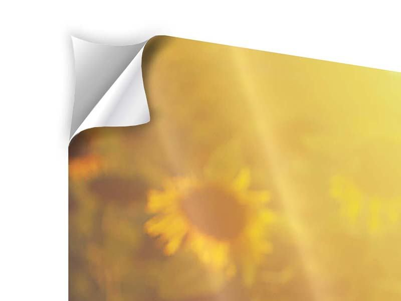Panorama Klebeposter 3-teilig Sonnenblumen im goldenen Licht