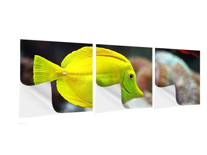 Panorama Klebeposter 3-teilig Segelflossendoktorfisch