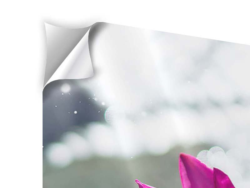 Panorama Klebeposter 3-teilig Seerosenduo in Pink
