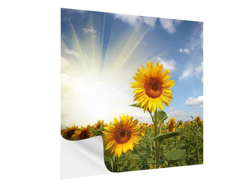 Klebeposter Sonnenblumen im Sonnenlicht