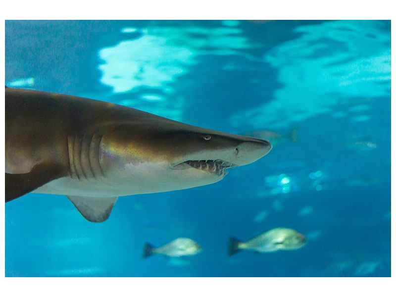 Klebeposter Der Haifisch