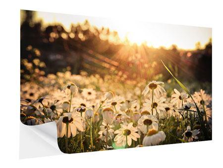 Klebeposter Gänseblümchen bei Sonnenuntergang