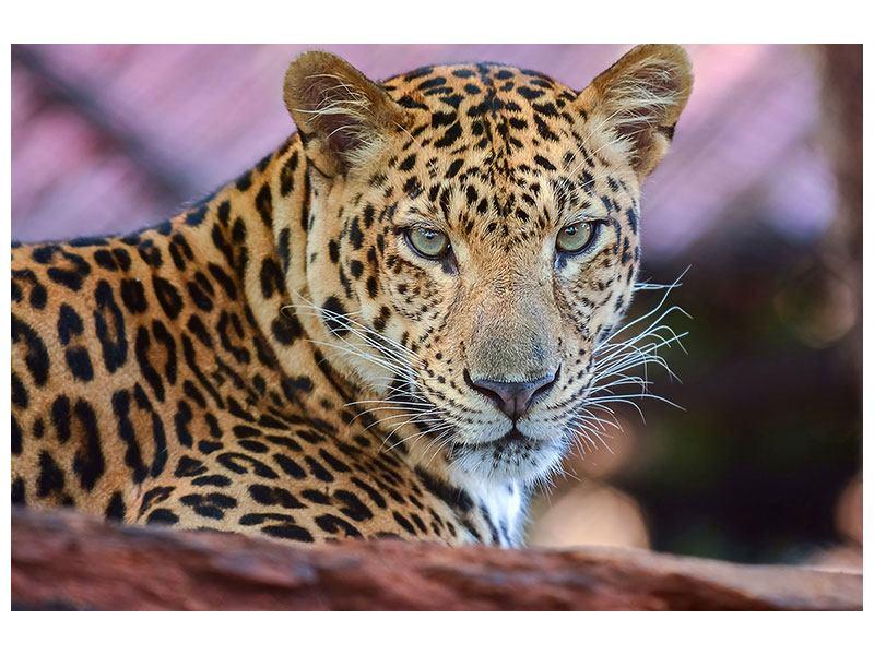 Klebeposter Leopard