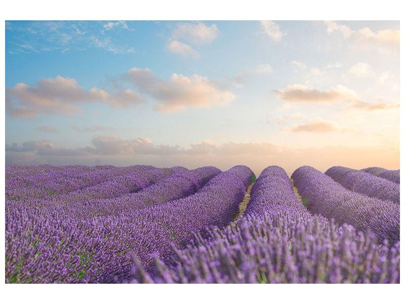 Klebeposter Das blühende Lavendelfeld