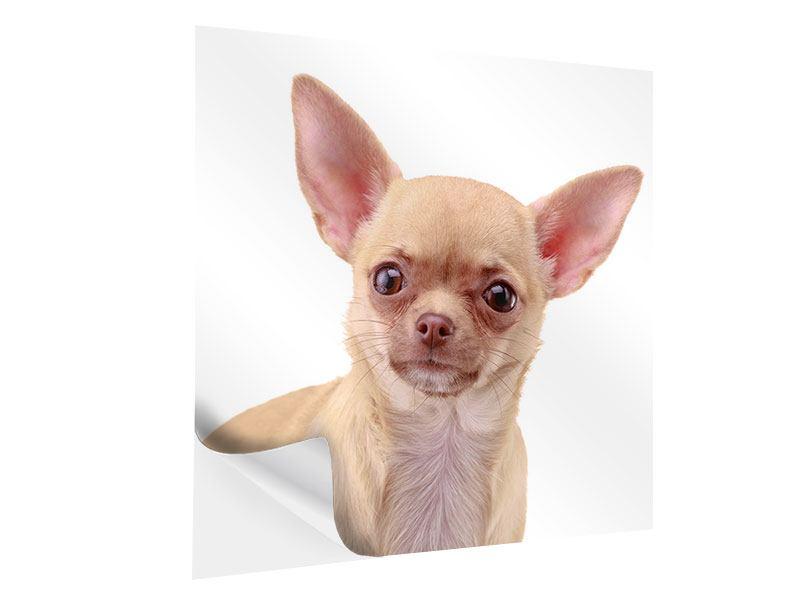 Klebeposter Chihuahua