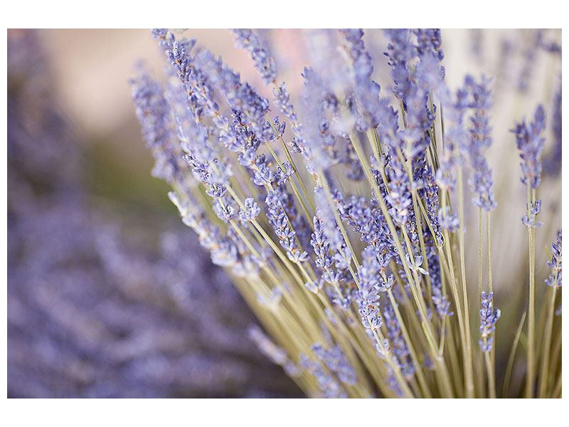 Klebeposter Lavendel XXL
