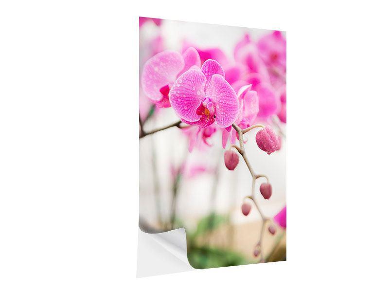 Klebeposter Gestreifte Orchideenblüten in Rosa