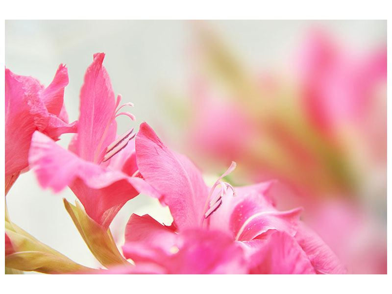 Klebeposter Gladiolen