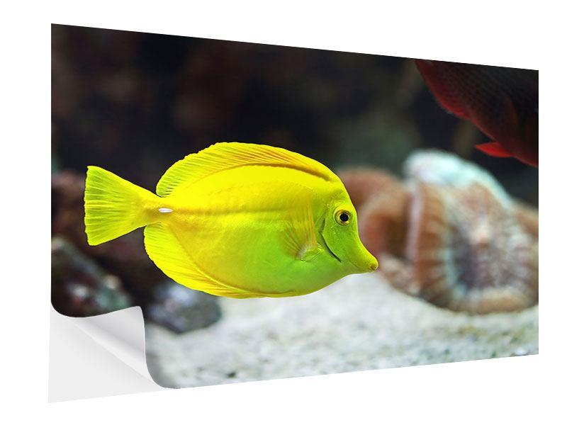 Klebeposter Segelflossendoktorfisch