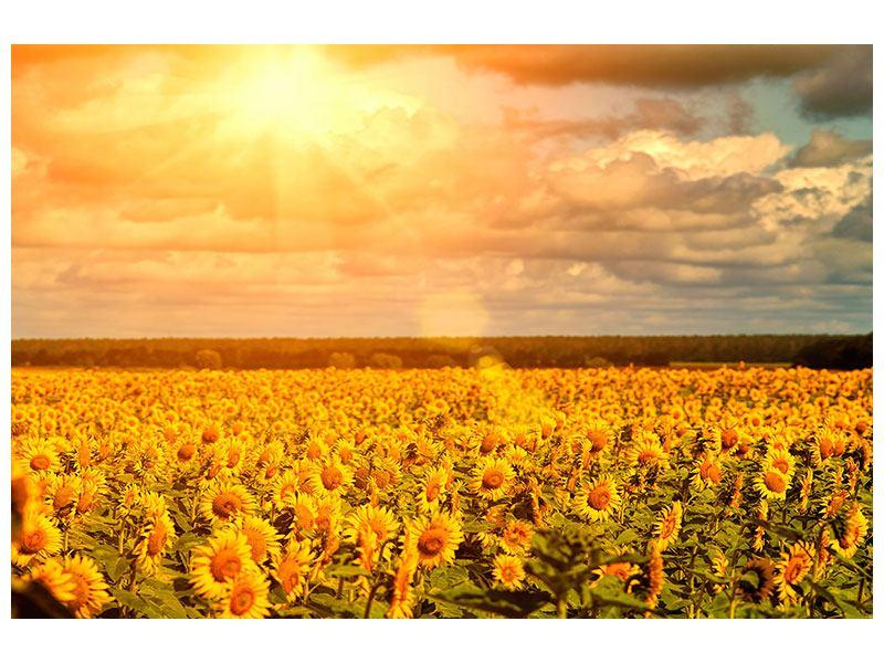 Klebeposter Goldenes Licht für Sonnenblumen