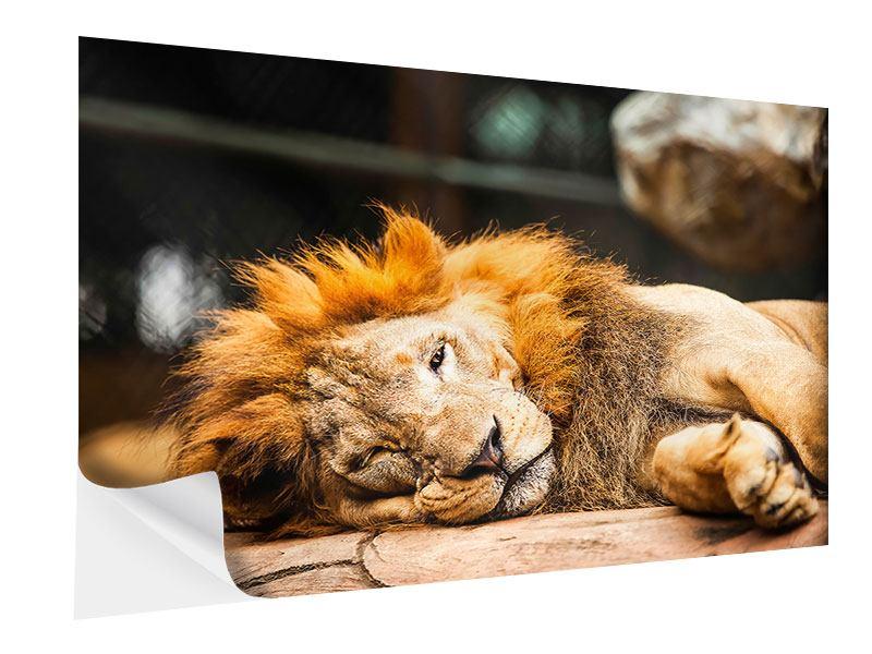 Klebeposter Entspannter Löwe