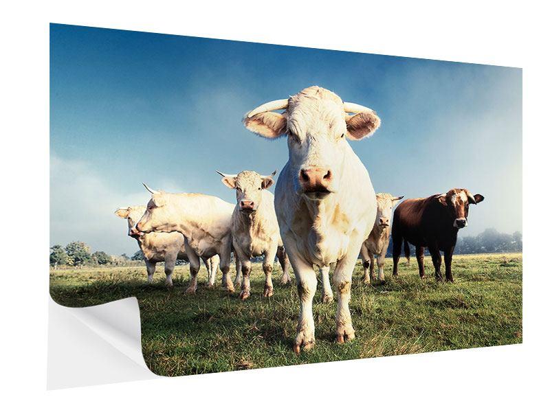 Klebeposter Kühe