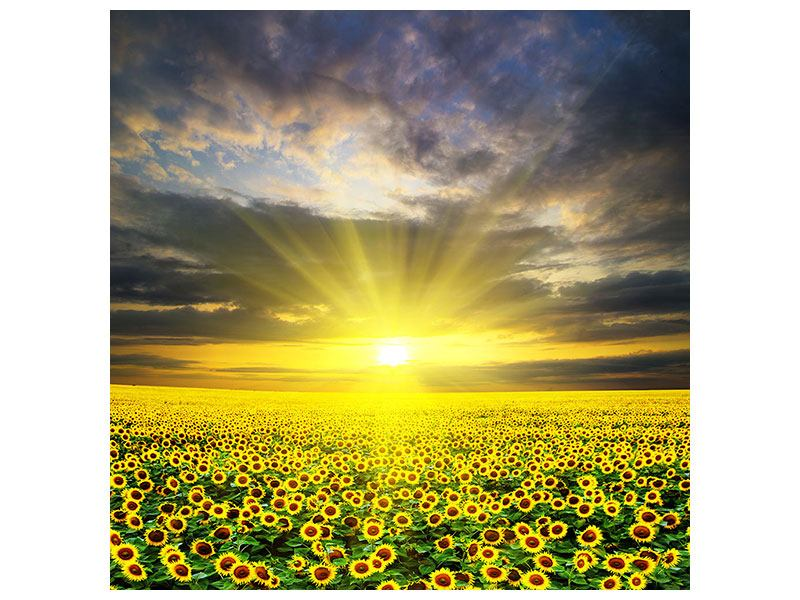 Klebeposter Abenddämmerung bei den Sonnenblumen