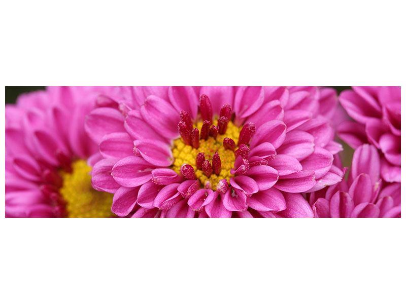 Leinwandbild Panorama Chrysanthemen