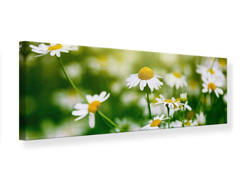 Leinwandbild Panorama Die Gänseblümchen