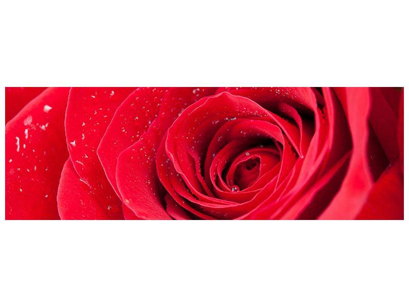 Leinwandbild Panorama Rote Rose im Morgentau