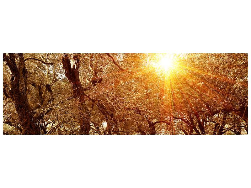 Leinwandbild Panorama Olivenbäume im Herbstlicht