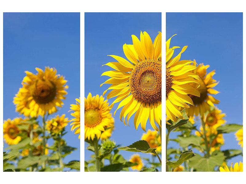 Leinwandbild 3-teilig Himmlische Sonnenblumen